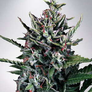 AUTO SILVER BULLET MINISTRY OF CANNABIS DISCOUNT