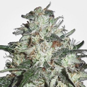 COTTON CANDY KUSH DISCOUNT