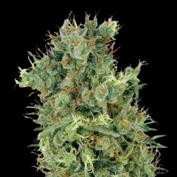DIESEL FEMINIZED GROWERS CHOICE SEEDS DISCOUNT 1