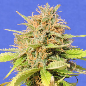 GIRL SCOUT COOKIES AUTO FREE DISCOUNT