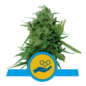 ROYAL QUEEN SEEDS SOLOMATIC CBD DISCOUNT