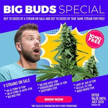 amsterdam marijuana seeds big bud