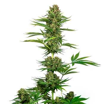 black domina cbd sensi seeds
