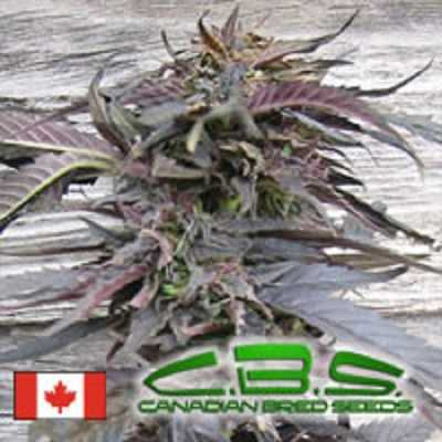 lethal purple original seed store discount