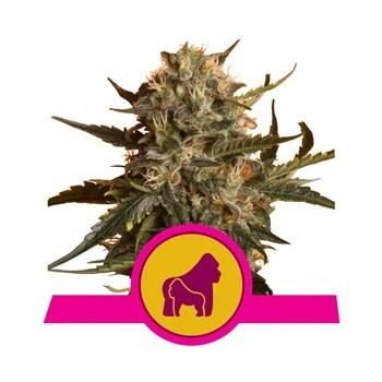 mother gorilla royal queen seeds