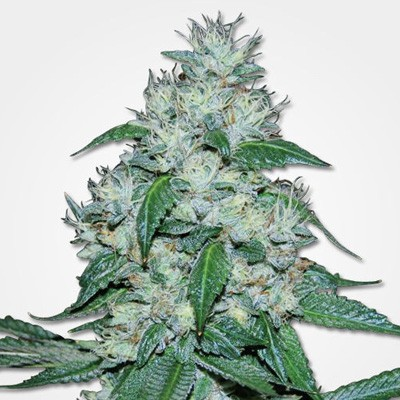 msnl discount great white shark