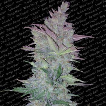 paradise seeds vertigo coupon