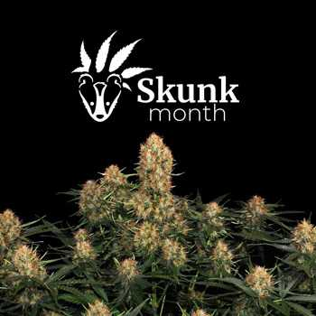 skunk month sensi seeds