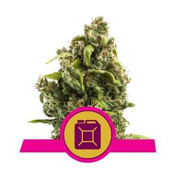 sour diesel coupon code royal queen seeds