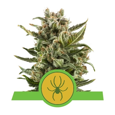 white widow auto royal queen seeds